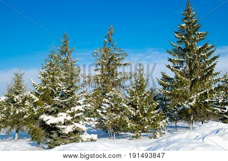 Pine With Snow