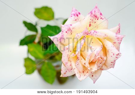 a rose in vase with leaves closeup