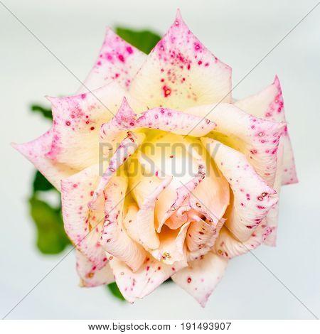 a beautiful pink rose macro close up