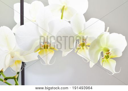 an orchid flower on a white background