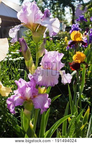 flowers of purple iris. Beautiful irises on green background. A purple iris plant in garden bloom in spring.