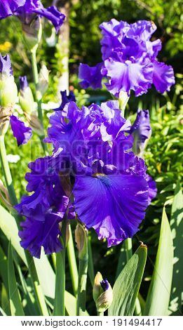 Beautiful flowers of blue iris. Beautiful irises on green background. A blue iris plant in garden bloom in spring.