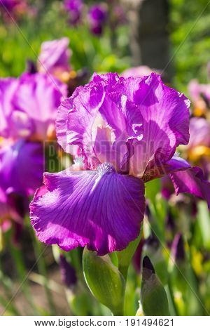 Beautiful flowers of blue iris. Beautiful irises on green background. A purple iris plant in garden bloom in spring.