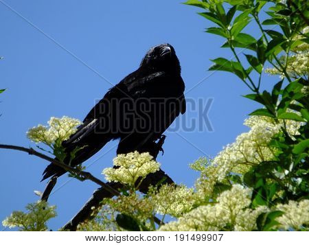 Carrion crow perched in tree against blue sky