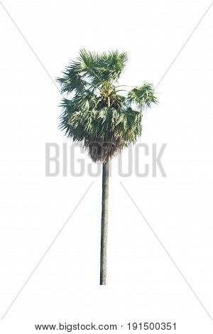 Asian Palmyra palm Toddy palm Sugar palm isolated on white background