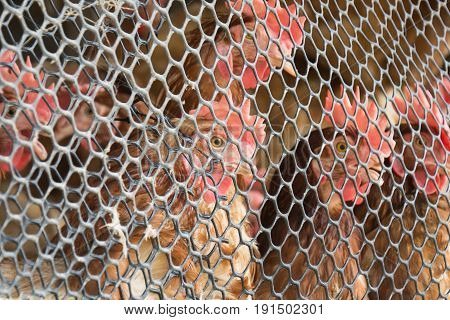 Chicken looking from behind Wire mesh .