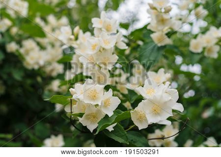 Jasmine white flowers and green leaves on bush in full blossom at summer park floral background. Beautiful jasmin flowers in bloom