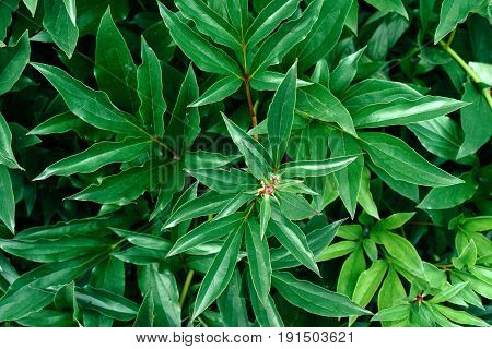 Background of fresh green peony leaves. Peony leaves background. Green background with leaves free space. Flat lay. Nature background