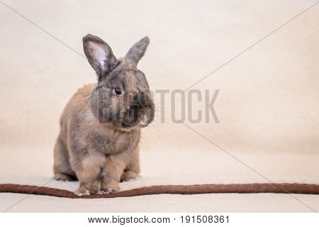 Adult brown rabbit sitting on the couch on light fur blanket