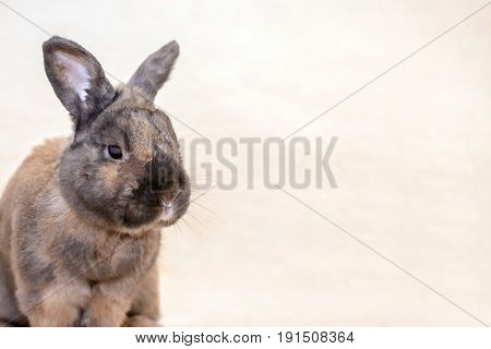 Adult brown rabbit sitting on the couch on light fur blanket with copy space