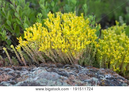 Medical herb sedum acre, goldmoss mossy stonecrop. Yellow flowers tufted perennial plant in the family Crassulaceae. Shallow depth field