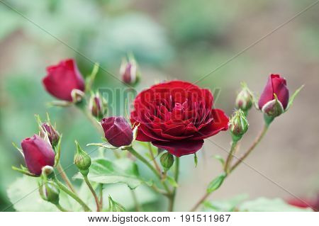 Blooming maroon roses landscape. Summer garden floral scene. Soft bokeh photo.