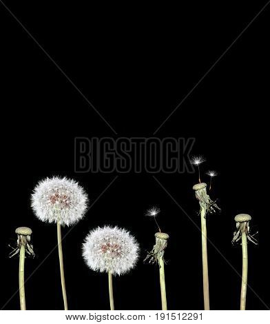 Spring fuzzy flowers dandelions isolated on black background.