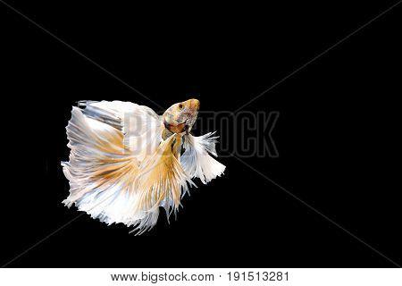 Golden Betta Siamese fighting fish, Betta splendens Pla-kad ( biting fish ) of Thailand, swimming motion on black isolated background