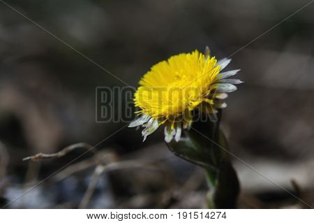Fresh coltsfoot flower is widely opened towards the sun Puumala region Finland