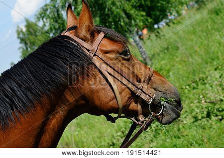 Horse is chewing grass on a meadow, Moscow region, Russia