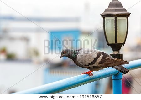 Photo of a gray pigeon next to the streetlamp