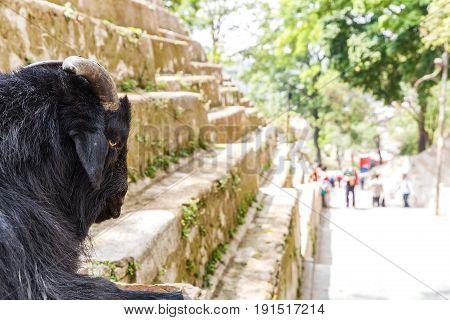 Black holy goat take a rest in Kathmandu streets
