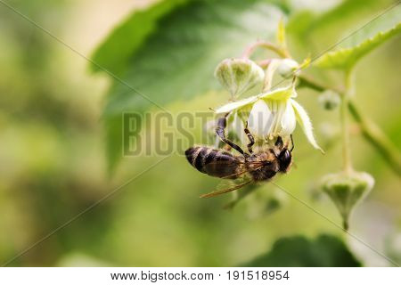 bee on a raspberry flower. Pollination of a flower