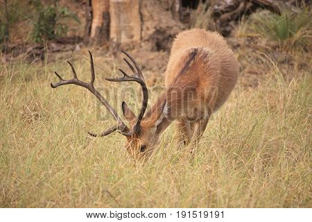 Picture portraying majestic horns of deer in middle of grassland.