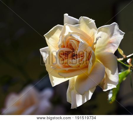 Rose flower blooming in light pink peach apricot to creamy white lions rose bred by kordes as a healthy shrub for the garden close up with selected focus