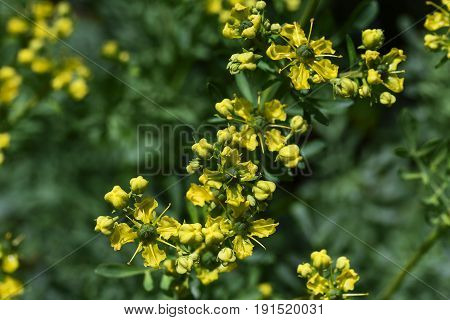 Common rue (Ruta graveolens) yellow flowers over bluish leaves seen from above domestic remedy medicinal and culinary herb copy space selected focus narrow depth of field