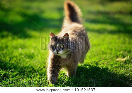 Funny brown long-hair cat walking on green grass on a sunny meadow in the garden