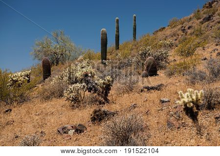 A hill at the Sidewinder Trail of the Phoenix Sonoran Preserve highlights an abundant diversity of plants. Grass bushes trees armless Saguaros Fishhook Barrel Cacti Teddy-Bear Chollas and other cacti all try to survive in the dry and harsh environment