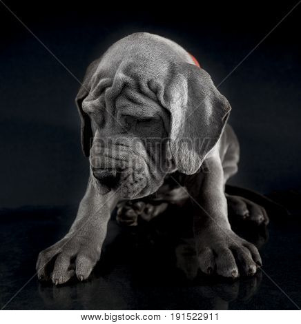 Blue Great Dane puppy purebred on a gray and black background