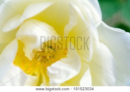 Bloomed bud of white rose. White rose background. Macro view