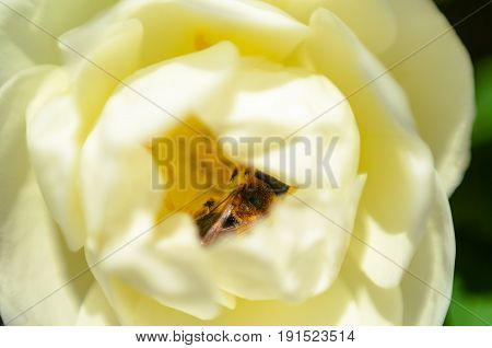 Bee in a white rose bud. White rose background. Macro view