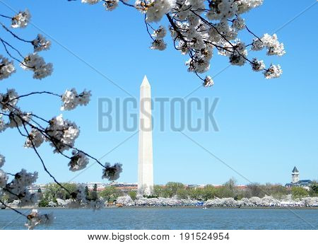 Cherry Blossoms against the background of the Washington Monument in Washington DC USA