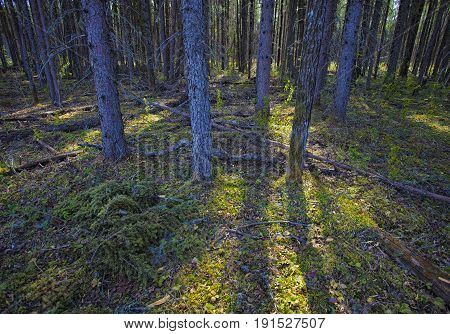 Morning light sneaking on a forest floor in Saskatchewan