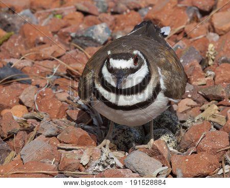 Killdeer near its nest on rocks with eggs