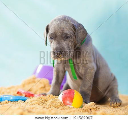 Blue Great Dane purebred puppy all alone with a ball on sand