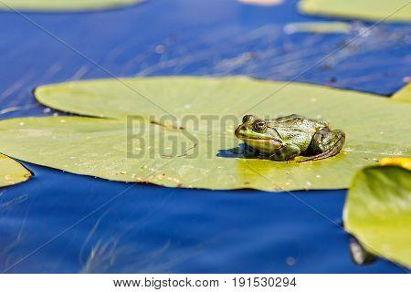 Green bullfrog sitting on a water lily leaf