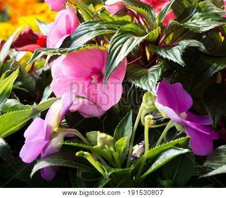 New Guinea Impatiens Fflowers On Green And Yellow