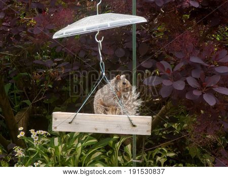 Gray Squirrel Sitting With His Tail Fanned Out In A Domed Wooden Birdfeede