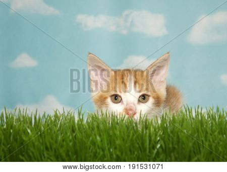 Orange and white tabby kitten crouched down in tall green grass ready to pounce looking directly at viewer. Blue background sky with clouds.
