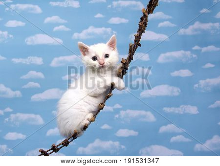 One small white kitten on a wood hanging ladder looking directly at viewer sky background with many white fluffy clouds.