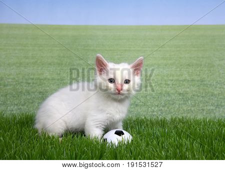 One white kitten with a miniature soccer ball playing in green grass field of grass behind to skyline. Fun sports theme with animals.