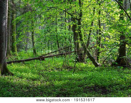 Natural riparian stand in spring sunset light, Bialowieza Forest, Poland, Europe