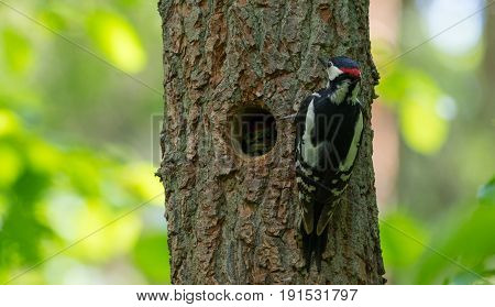 Great spotted woodpecker (Dendrocopos major) male next to hollow with nestling inside, Bialowieza Forest, Poland, Europe