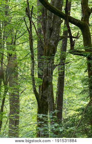 Old hornbeam trees in springtime forest, Bialowieza Forest, Poland, Europe