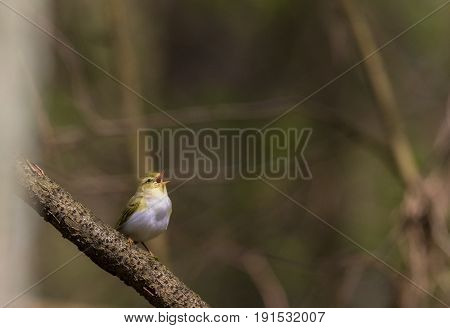 Singing Willow warbler (Phylloscopus trochilus) in spring against fuzzy background, Bialowieza Forest, Poland, Europe