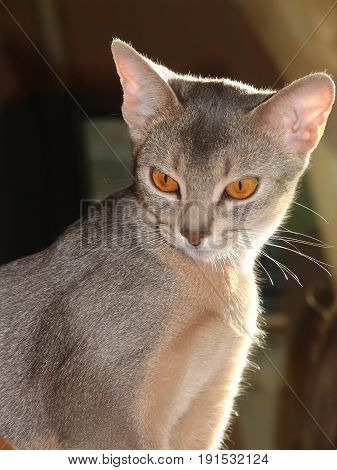 Young Abyssinian Cat Looks At The Subject