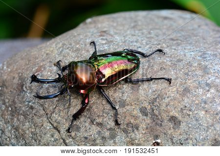 A shiny and colorful Rainbow stag beetle sits on a rock in  its environment.