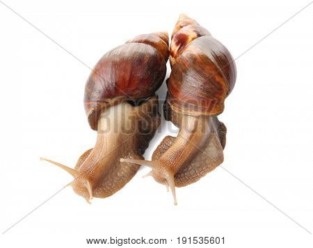 Giant Achatina snails on white background