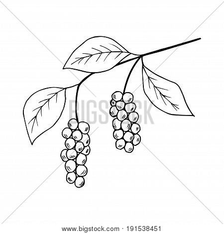 Branch with berries of Chinese Schisandra, isolated on white. One of the best adaptogen herbs for stress relief.
