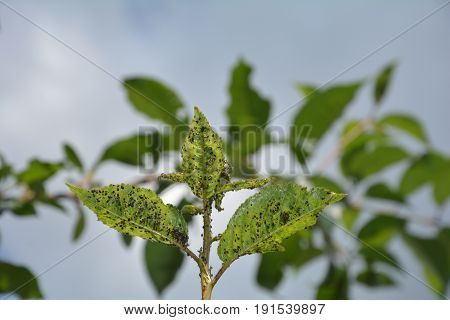 Many aphids on cherry tree leaves with sky